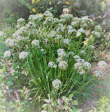 Garlic Chives Plant