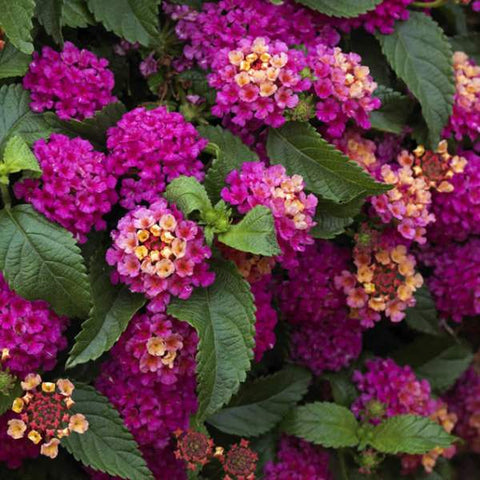 Lantana 'Dark Purple' Plants
