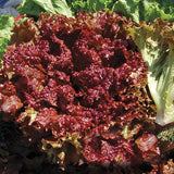 Lettuce 'New Red Fire' - 6 Plants