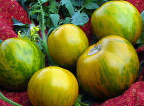 Tomato 'Green Zebra' Plants
