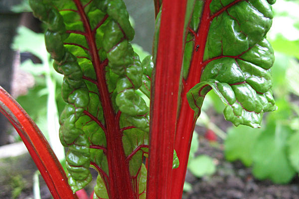 swiss chard bright lights vegetable seeds