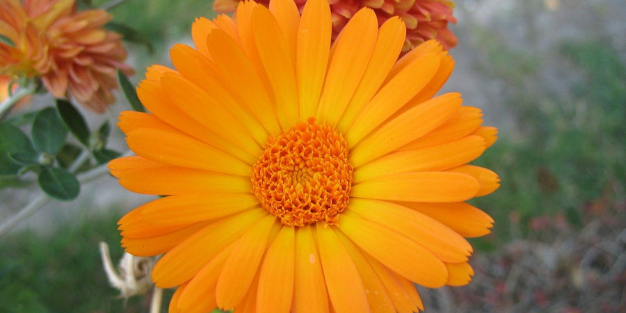 how to grow pot marigold