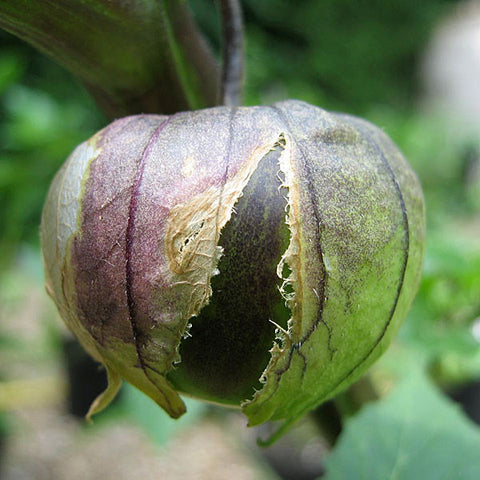 Tomatillos Seeds