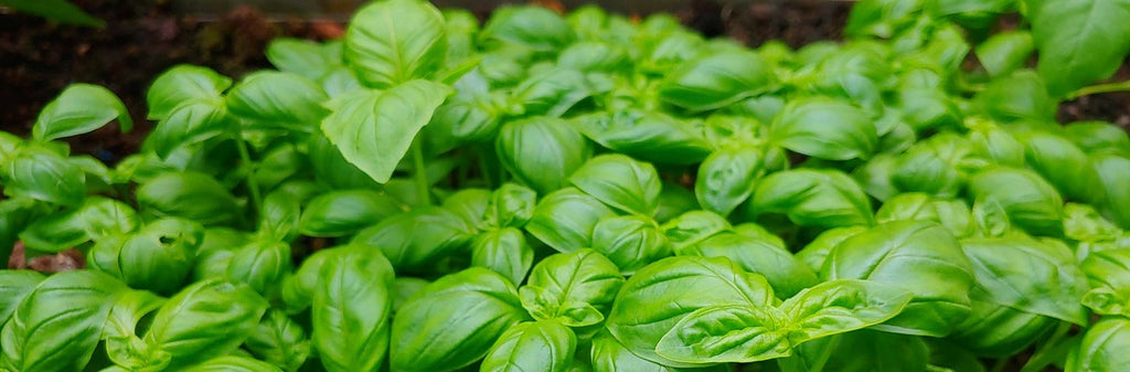 Basil growing guide 2