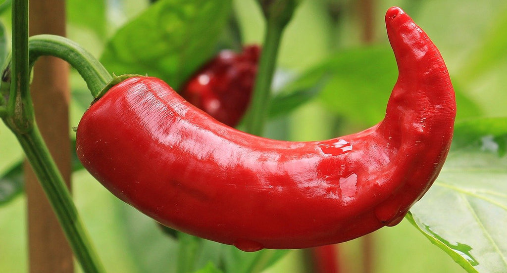 chilli pepper growing guide