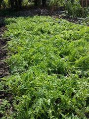phacelia green manure cut down