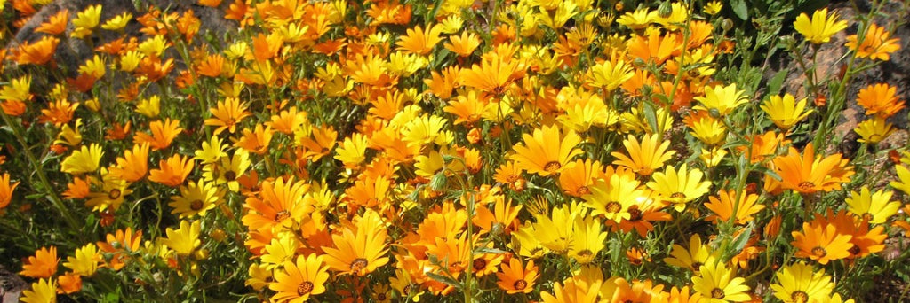 pot marigold growing guide