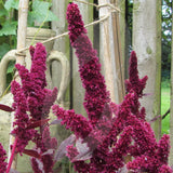 Amaranth Red Army Seeds