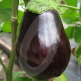 Aubergine Moneymaker F1 Seeds