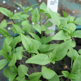 Basil Sweet Thai Herb Seeds
