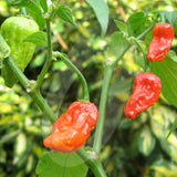 Bhut Jolokia (Ghost) Chilli Seeds