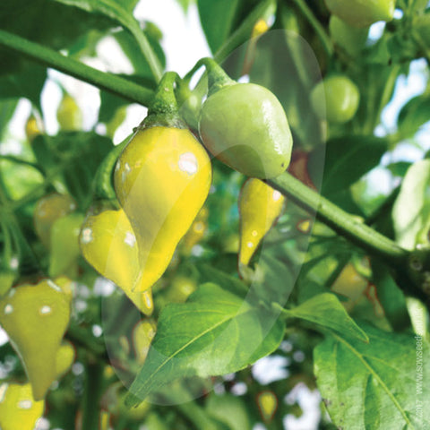 Biquinho Yellow Chilli Seeds