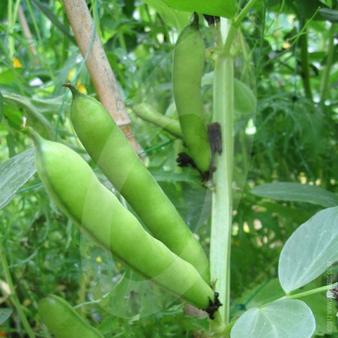 Broad Bean Stereo Seeds