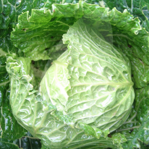 Cabbage Winter Tundra Seeds