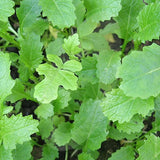 Caliente Mustard 119 Green Manure Seeds