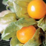 Cape Gooseberry Dwarf Seeds