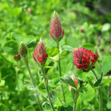 Crimson Clover Green Manure Seeds