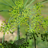 Dill Herb Seeds