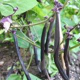 Dwarf French Bean Purple Queen Seeds