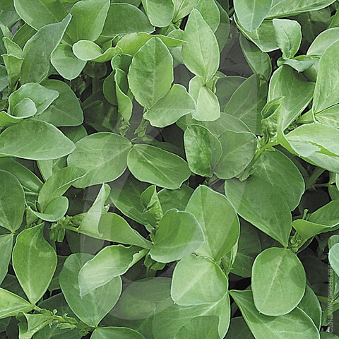 Field Beans Green Manure Seeds