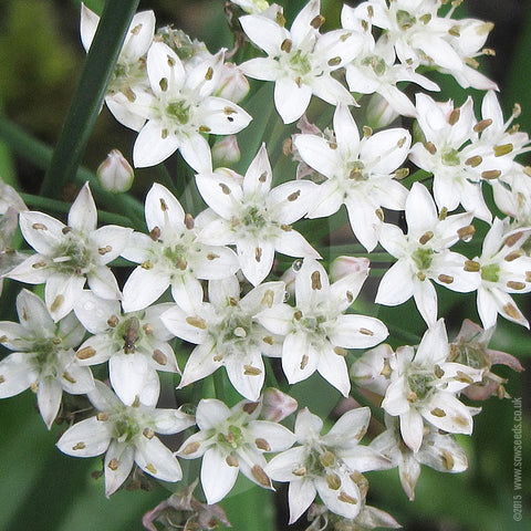 Garlic Chives Herb Seeds