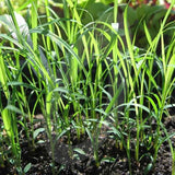Lemongrass Herb Seeds