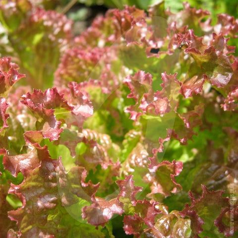 Lettuce Lollo Rossa Seeds