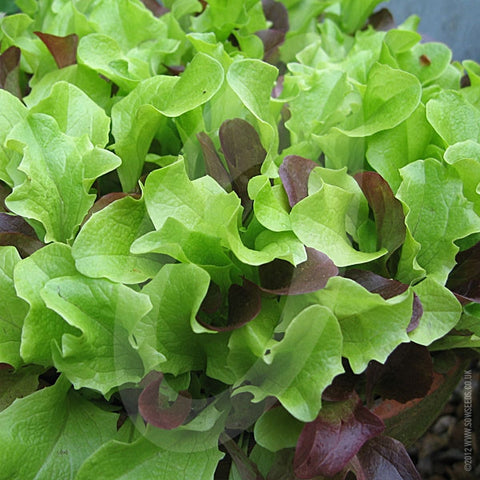 Lettuce Mixed Baby Leaf Seeds