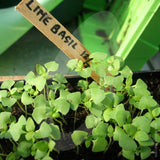 Basil Lime Herb Seeds