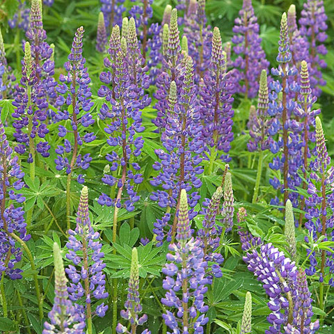 Lupins Green Manure Seeds