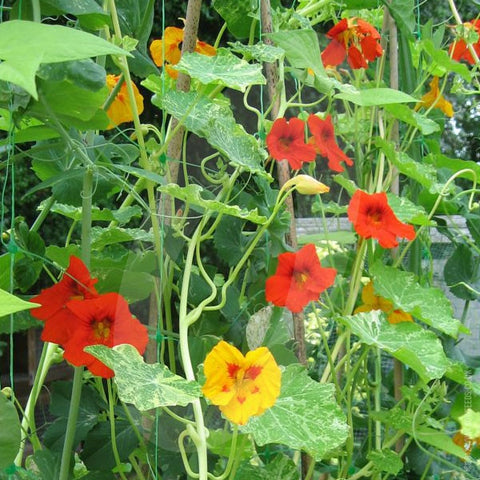 Nasturtium Jewel of Africa Seeds