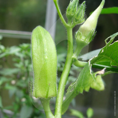 Okra Pure Luck Seeds