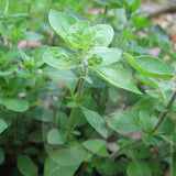 Oregano White Majoram Herb Seeds