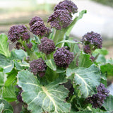 Purple Sprouting Broccoli Rudolph Seeds