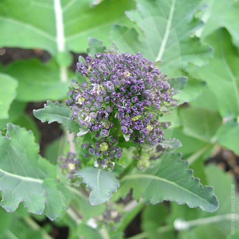 Purple Sprouting Broccoli Santee Seeds