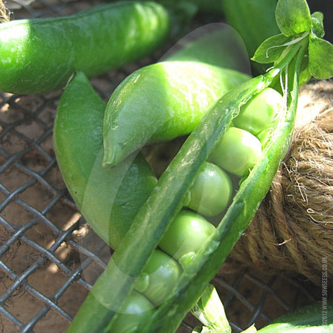 Pea Douce Provence Vegetable Seeds