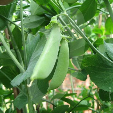Pea Sugar Snap Seeds