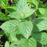 Peppermint Herb Seeds