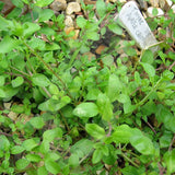 Thyme Purple Creeping Herb Seeds