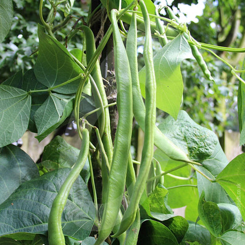 Runner Bean Firestorm Seeds