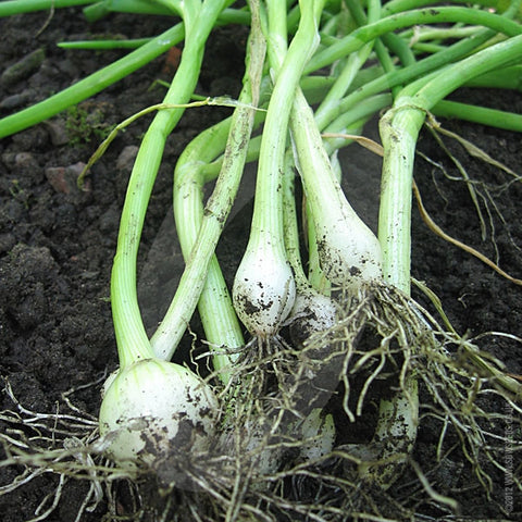 Salad Onion White Lisbon Seeds