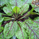 Sorrel Red Veined Herb Seeds