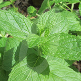 Spearmint Herb Seeds