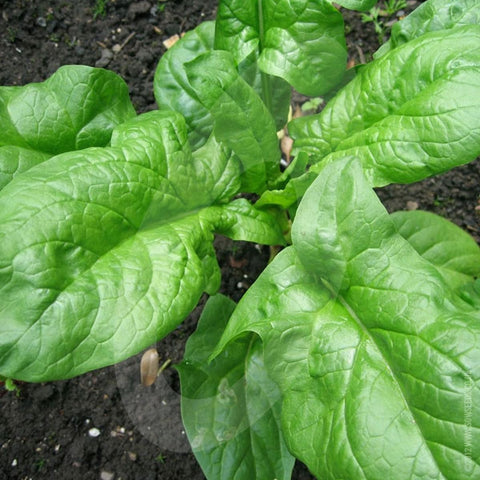 Spinach Amazon F1 Seeds (AGM)