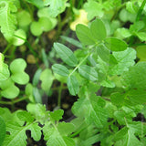 Spring Mix Green Manure Seeds