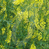 Sweet Clover Green Manure Seeds