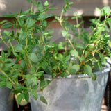 Thyme English Winter Herb Seeds