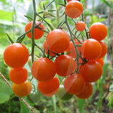 Tomato Sungold Seeds