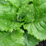Lettuce Webbs Wonderful Seeds