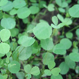 White Clover Green Manure Seeds